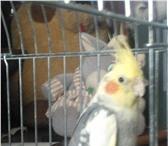Foto в Домашние животные Птички Продам попугайчика, самца Кореллы, 8мес в в Ярославле 2500