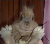 Foto в Домашние животные Грызуны продам Кролика-Белку,  мальчик 4.5 месяца, в Иваново 1500