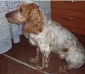 Изображение в Домашние животные Вязка собак Отличный кобель породы русский спаниель, в Нижнем Тагиле 0