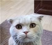 Фотография в Домашние животные Вязка Здравствуйте! Меня зовут Персей. И первое в Екатеринбурге 1100
