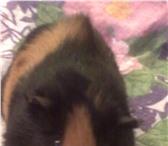 Изображение в Домашние животные Грызуны отдам морскую свинку в хорошие руки мальчик в Вологде 0