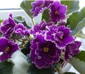 Фото в Домашние животные Растения Продаю сортовые фиалки.Детки 60-80 руб,Стартеры в Рязани 60