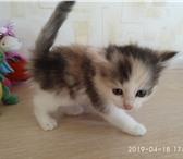 Красивые котята 4887861 Другая порода фото в Магнитогорске