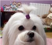 Фото в Домашние животные Услуги для животных Предлагаем на вязку кобеля мальтийской болонки в Москве 25000