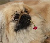 Фото в Домашние животные Вязка собак Пекинес по кличке Тинакий Великолепный, ищет в Астрахани 1000