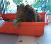 Фото в Домашние животные Грызуны морская свинка ищет хояина. самец,1 годик. в Томске 0