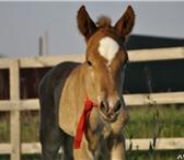 Фото в Домашние животные Другие животные Продаётся отличный жеребёнок одногодка. Мальчик в Таганроге 30000