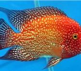 Изображение в Домашние животные Рыбки продаю малька цихлид  в наличии есть такие в Иркутске 40