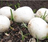 Фото в Домашние животные Растения Реализуем высококачественный зерновой мицелий в Чебоксарах 1240