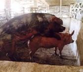 Фото в Домашние животные Другие животные Желающим купить хряка Хосе как производителя. в Орле 0