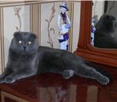 Фото в Домашние животные Вязка Вислоухий кот ищет подругу для продолжения в Улан-Удэ 0