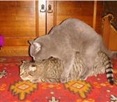 Foto в Домашние животные Услуги для животных Предлагаю для вязки британского кота голубого в Костроме 2000