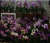 Foto в Домашние животные Растения продаю орхидеи цветущие 400 р.отцветающие в Томске 400