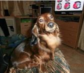 Фотография в Домашние животные Вязка собак мальчик породы карликовая длинношерстная в Кирове 0