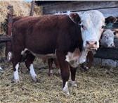 Фотография в Домашние животные Другие животные Реализуем бычков породы Герефорд на племя. в Магнитогорске 165