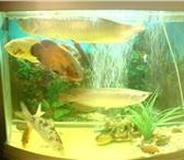 Изображение в Домашние животные Рыбки Арованна (длина 50 см) серебристая,  ручная в Магнитогорске 0