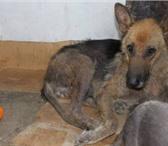 Изображение в Домашние животные Лечение заболеваний собак Срочно нужна помощь! Операция немецкой овчарки в Екатеринбурге 0