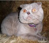 Изображение в Домашние животные Вязка Уважаемые девушки-кошечки, шотландский вислоухий в Таганроге 1000