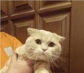Изображение в Домашние животные Вязка Очень красивый котик. Крупный по размеру. в Екатеринбурге 1300