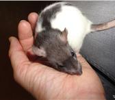 Изображение в Домашние животные Грызуны Крысята 1,2 месяца,(капюшон)самцы.Ласковые,игривые,чистюли. в Екатеринбурге 150