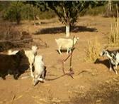 Изображение в Домашние животные Другие животные продаю коз 1 дойная 1 козел и козочка в Астрахани 3000