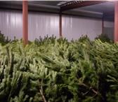 Изображение в Домашние животные Растения Осуществляем продажу новогодних Елей и Сосен. в Санкт-Петербурге 250