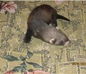 Фото в Домашние животные Другие животные Маленькие хорята ищут хозяев. В конце июля в Владимире 2000