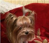 Foto в Домашние животные Вязка собак Породистый кобель йоркширского терьера приглашает в Самаре 2500