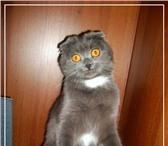 Фото в Домашние животные Вязка вислоухая кошечка 5 лет ищет котика-британца в Омске 0