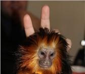 Foto в Домашние животные Другие животные Продам Здиповых тамаринов. Это обезьянки в Москве 150000