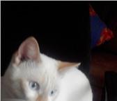 Тайские котята 3578322 Тайская фото в Архангельске