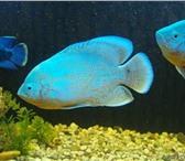 Изображение в Домашние животные Рыбки Товарищи  аквариумисты!Хоч упредложить вашему в Москве 600