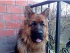 Изображение в Домашние животные Вязка собак Яркий, темпераментный, крупный кобель немецкой в Иркутске 1000