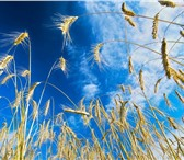 Foto в Домашние животные Растения Семена озимой пшеницы: 1.Алексеич (ЭС, РС-1)2.Антонина в Краснодаре 0
