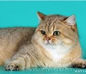 Фотография в Домашние животные Вязка Временно открыт для вязок чистокровный британский в Смоленске 0