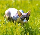 Foto в Домашние животные Вязка Канадский сфинкс 07.10.2011 года рождения. в Пскове 10000