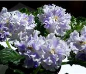 Foto в Домашние животные Растения Продам неукоренённые  черенки  сортовых фиалок в Прокопьевске 25