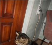 Foto в Домашние животные Вязка Молодой красавец , Крупный, ширококостный, в Воронеже 2500