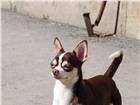 Foto в Домашние животные Вязка собак Предлагаем для вязки очень симпатичного парня в Иркутске 10000