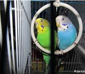Foto в Домашние животные Птички Продаются волнистые красивые попугаи, самка в Таганроге 800