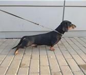 Фото в Домашние животные Услуги для животных Предлагаю для вязки импозантного кобеля таксы. в Нижнем Тагиле 0