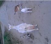 Foto в Домашние животные Другие животные Продам козлят рождённых 10 апреля (2 козочки в Рязани 3000