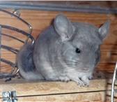 Фотография в Домашние животные Грызуны Шиншиллы различных элитных окрасов - белые, в Челябинске 0