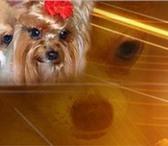 Foto в Домашние животные Вязка Передержка собак мелких пород (таких как в Зеленоград 5000