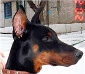 Фотография в Домашние животные Найденные Найдена собака   доберман   г  Камышин   в Камышине 0