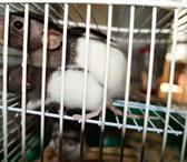 Фото в Домашние животные Грызуны Десять чудесных крысят ждут своих хозяев, в Уфе 100