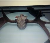 Фотография в Хобби и увлечения Охота Продам рога лося в Саратове 100
