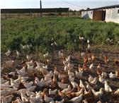 Фото в Домашние животные Птички Продаю 3х месячных цыплят. Порода родонит. в Ставрополе 80