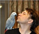 Фотография в Домашние животные Птички Продам попугаев жако краснохвостых молодых в Саратове 18000