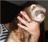 Изображение в Домашние животные Грызуны срочно продам хорька возраст - 6 месяцев в Пензе 6000